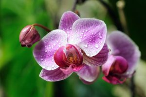 Gorgeous Orchid Reflects beauty of vaginal Renewal.
